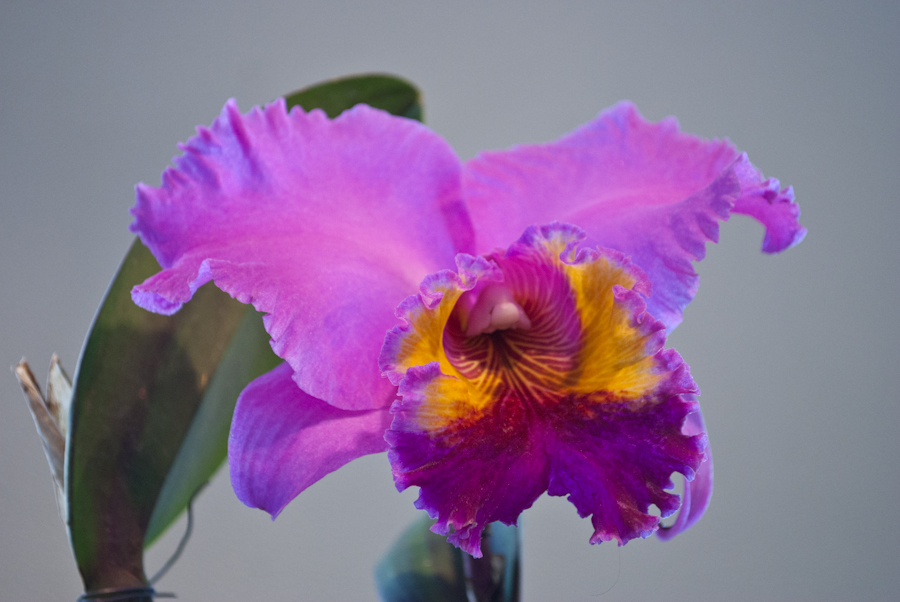 Most impressive orchid!! DSC_2922