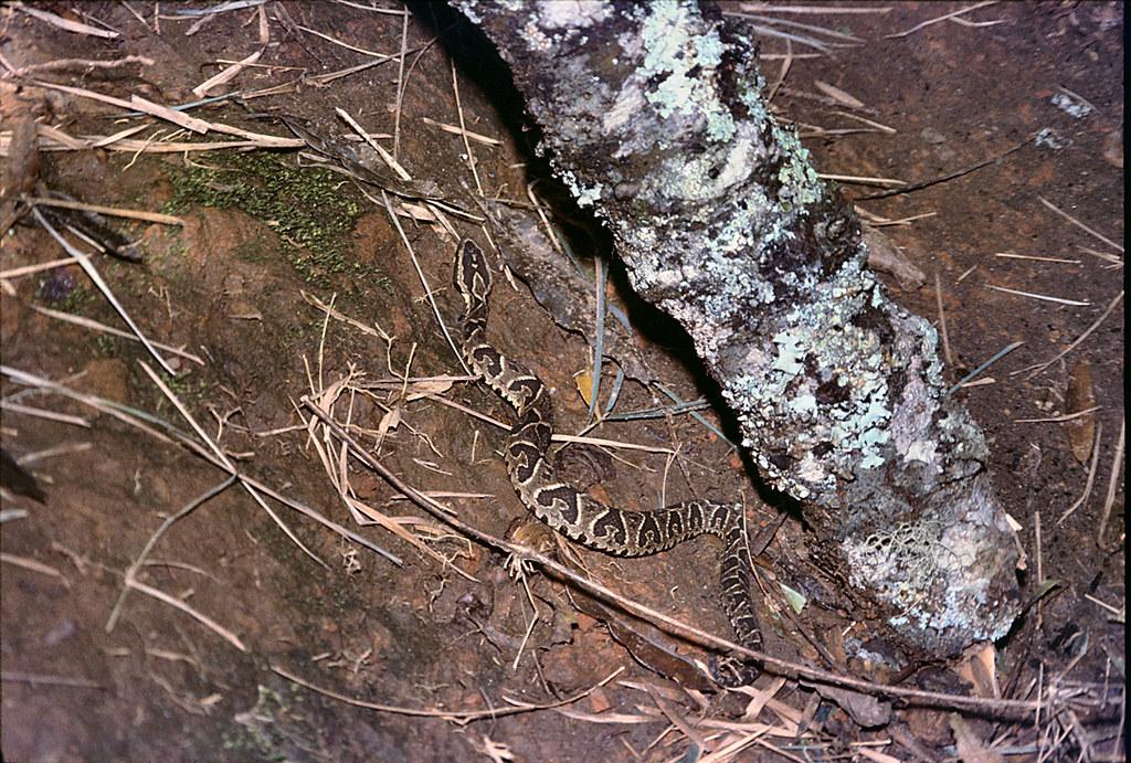 Bothrops jararaca  -(Jararaca, Jararaca Pit Viper).  Pedra do Baú,  Campos do Jordão