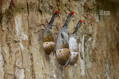 Pyrops pyrorhynchus | by Antonio Giudici Butterfly Trips
