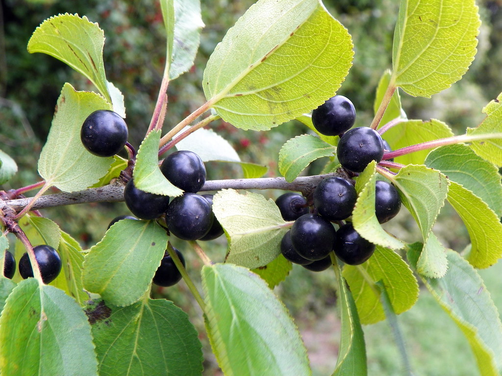 Image result for buckthorn