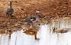 Red billed Teal at Kudu dam by Sheldrickfalls