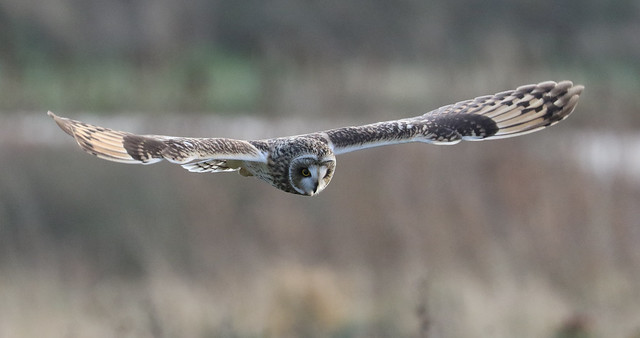 Short Eared Owl  Hunting.      In Explore 17-01-2017