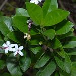 唇形科 Clerodendrum inerme (L.) Gertn. 苦林盤 98特生