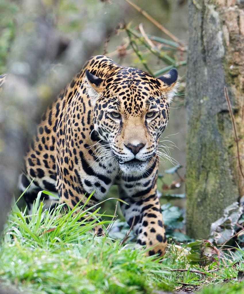 Female Jaguar: Female Jaguar (Panthera Onca) At
