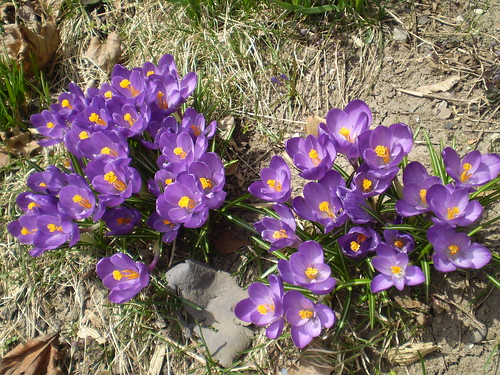 Crocuses | by CrlWln