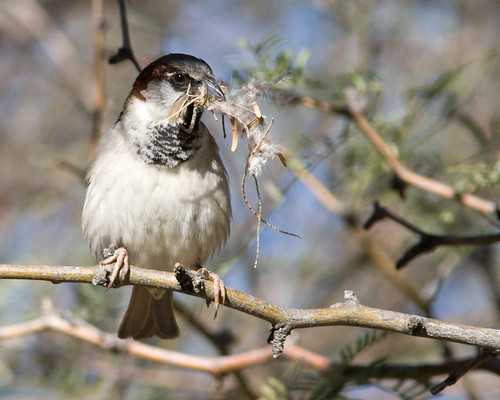 House Sparrow with a mouthful | by Joan Gellatly