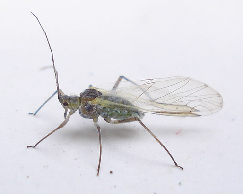 Homoptera Aphids | by Mick E. Talbot