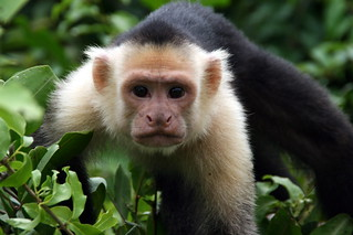 White face monkey at Palo Verde-1 | by johntrainor