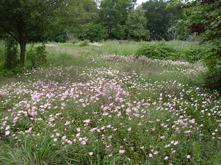 Field of Showy Evening Primrose   by gurdonark