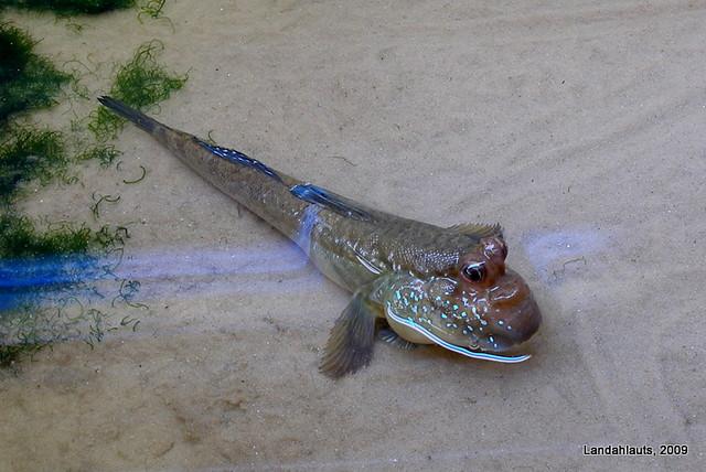 Saltarines del fango - Periophthalmus koelreuteri