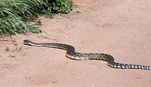 Snake on my Path