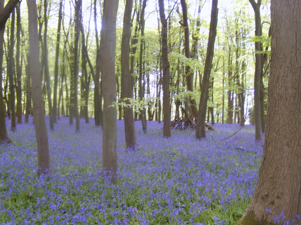 Bluebell wood 2 Tring to Berkhamsted