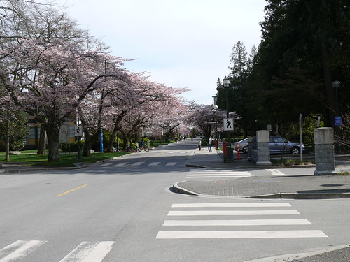 Cherry Blossoms   by wasme