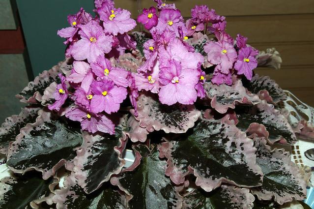 African violet Wrangler/'s Dixie Celebration live plant in pot