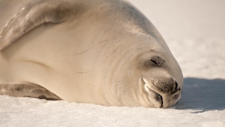 Seal Smiles