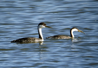 Western Grebe | by Laura Erickson