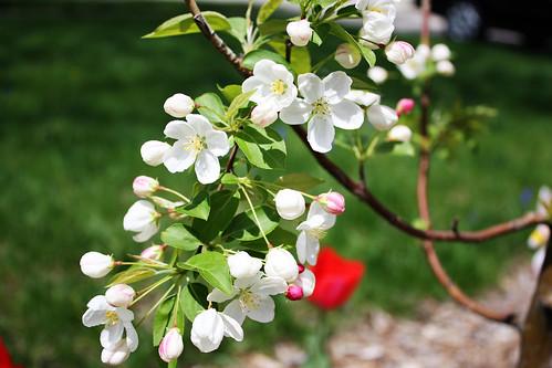Crab Apple Tree Blossom | by Heidi Ponagai
