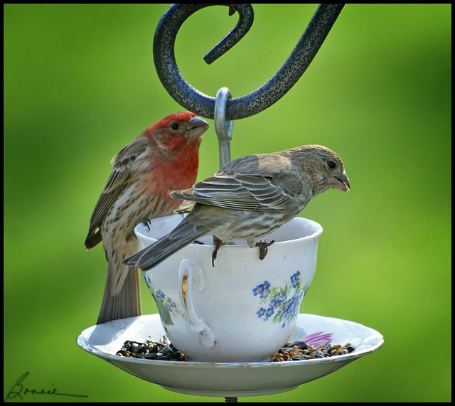 tea time for Mr and Mrs House Finch