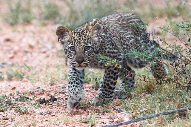 Leopard Cub Stalking!