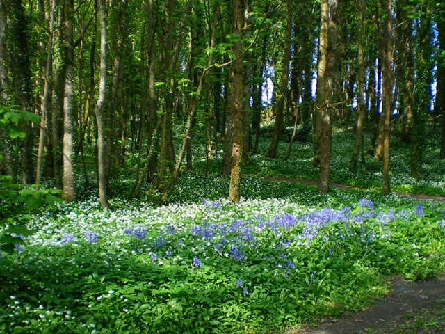 Bluebells, Rinville Park. Oranmore, Galway