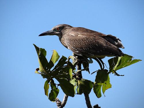 bird heron nature savacu