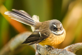Fantail | by Syd3r