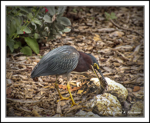 ngc greenheron greatphotographers adifferentpointofview