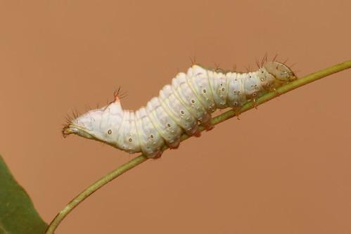 macro gloucestershire caterpillar moths british larva thrupp ptilodoncucullina mapleprominent