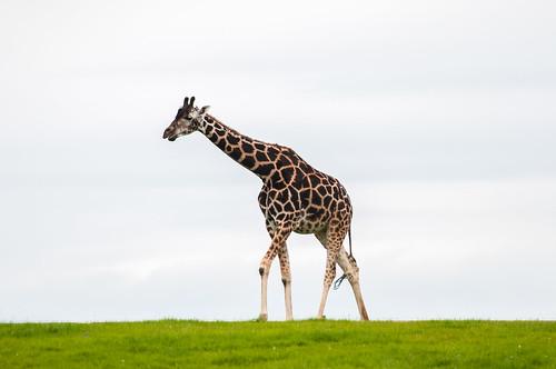 Giraffe   by rainerSpunkt