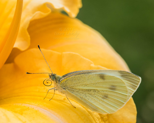 2015-08-04 (216/365) Butterfly on Daylily | by lundyd