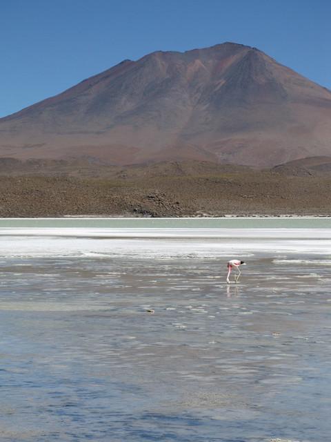Flamingo in Laguna Verde