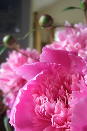 Peonies | by Wonderers