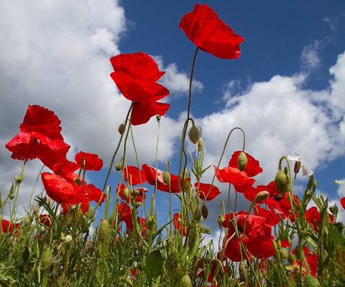 Poppies again 5   by ahisgett