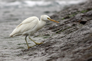 岩鷺 Pacific Reef Egret | by dotcool