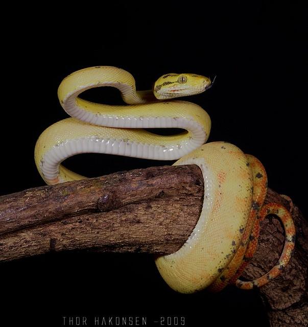 Corallus hortulanus - Amazon Tree Boa