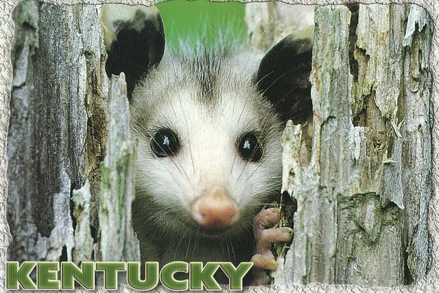 Kentucky Opossum Postcard