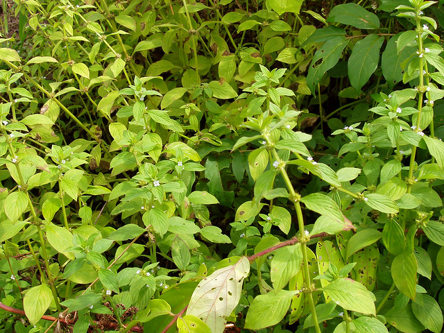 Spermacoce latifolia  Aubl. (RUBIACEAE)