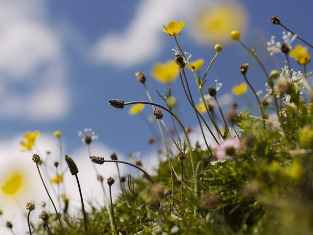 Wild Flower, Wildblume, Blume, Spring, Frühling, Mai, May, Natur
