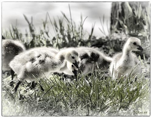 illinois nikon stlouis goslings d300 400mmf35nikkor horeshoelake ©copyright