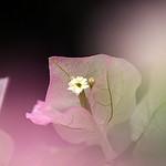 Bougainvillea 'Bridal Pink'
