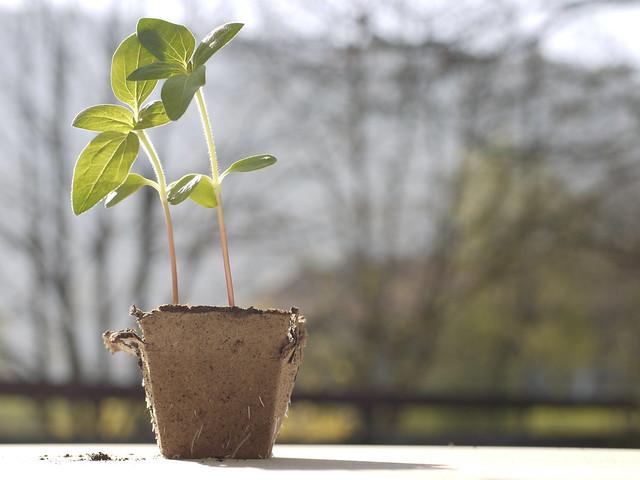 Sunflower Seedling, Sonnenblume, Keimling, Anzucht, Vorzucht
