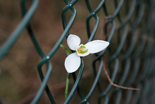 A Snowdrop in the Fence | by LukeAndrew94