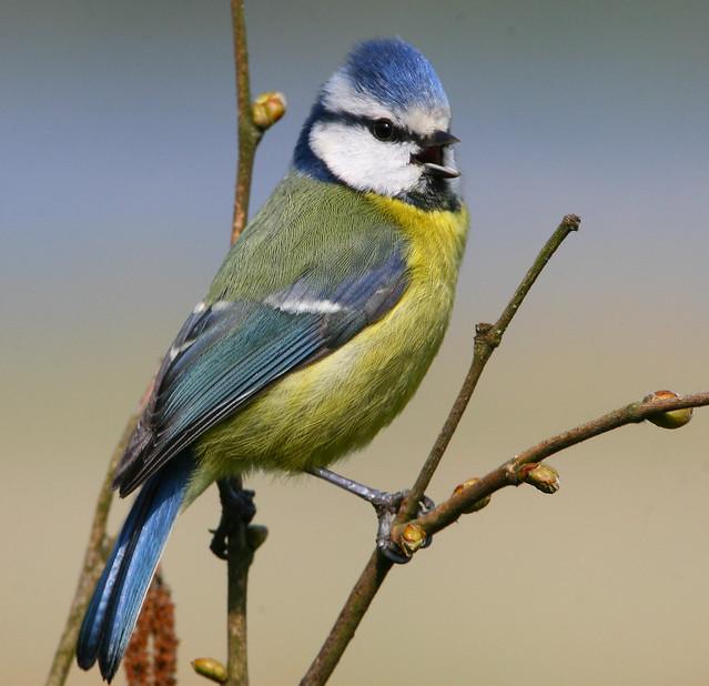 Singing Blue Tit