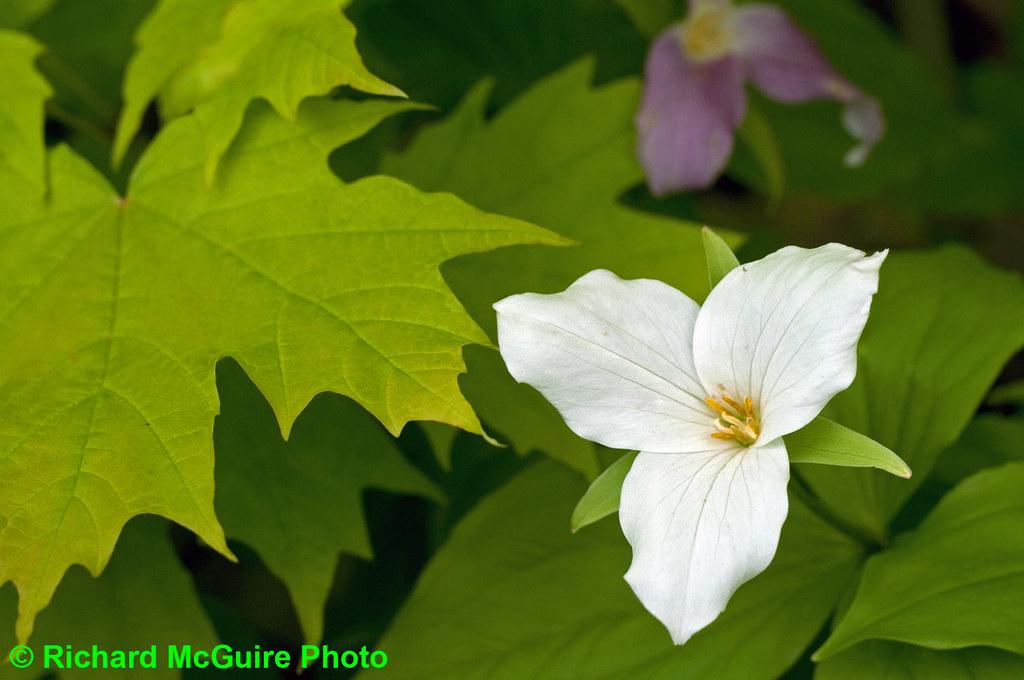 Trillium And Maple Symbolic Canadian Plants The Trillium Flickr