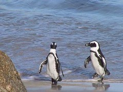 Penguins at Boulders (c) Sanparks