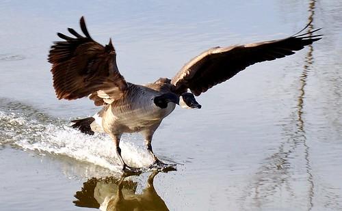 canada reflection bird birds spring pond goose landing splashdown skimming aquaplane nikond90 defendersphotocontest2010