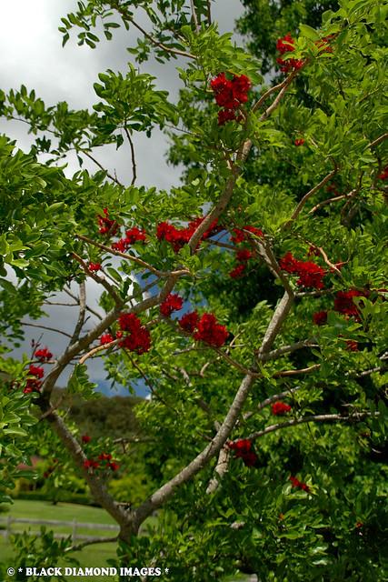 Schotia brachypetala - Drunk Parrot Tree, Weeping Schotia, Weeping Boerboon