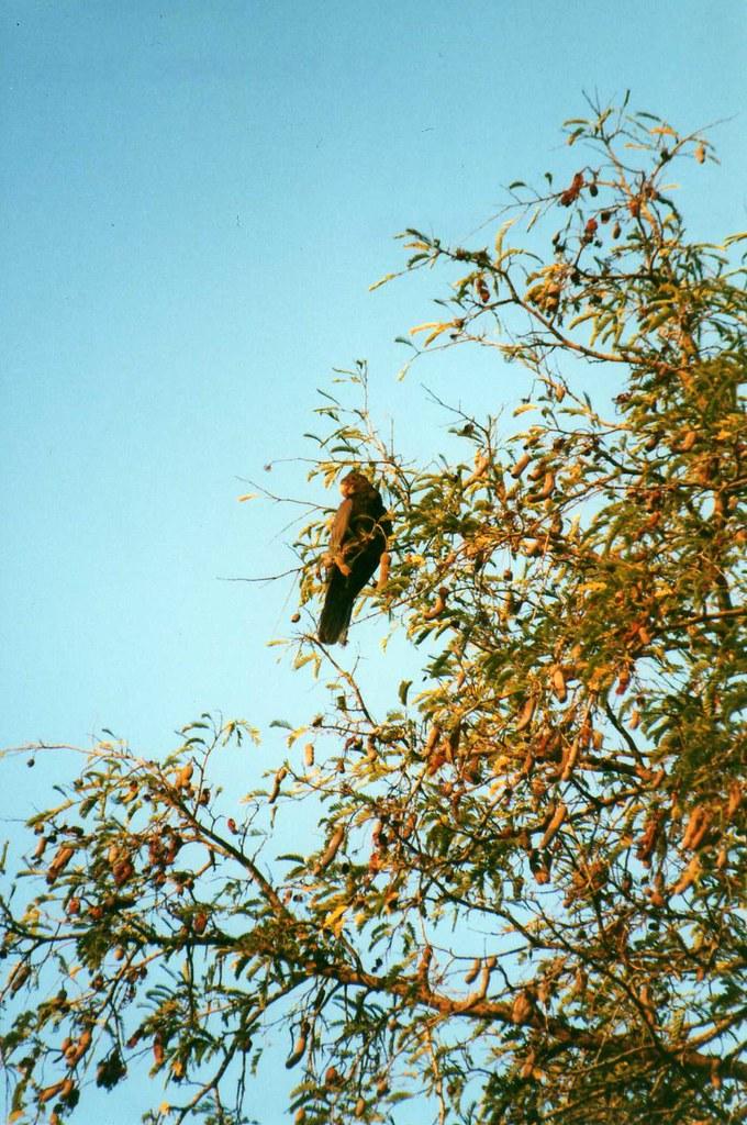 Greater Vasa Parrot (Coracopsis vasa) | Kaleta Reserve, near… | Flickr