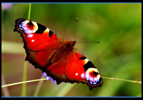 Peacock Butterfly - Brockadale Nature Reserve - West Yorkshire
