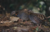 Rufous-throated Partridge-Arborophila rufogularis by Bram Demeulemeester - Birdguiding Philippines